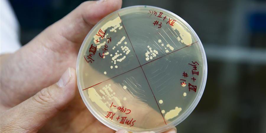 Científicos chinos crean cuatro cromosomas sintéticos de levadura
